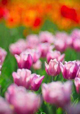 В Дендропарке цвете полмиллиона тюльпанов